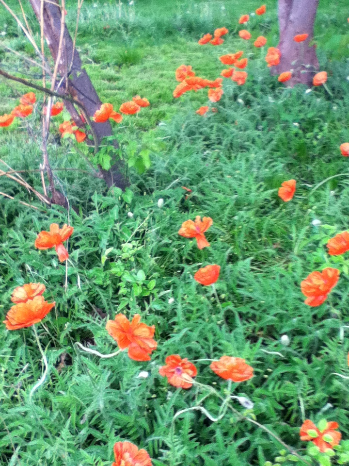 poppies home 1