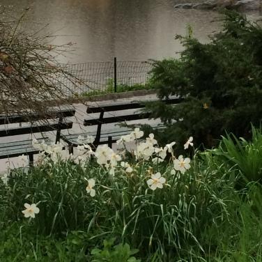 daffodils lake