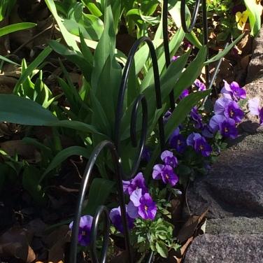 pansies purple