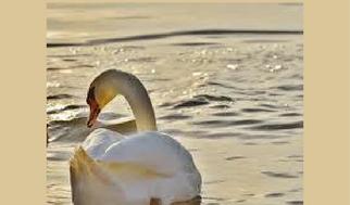 swan sunset 2