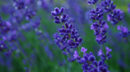 lavender closeup