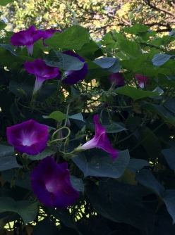 morning glory purple