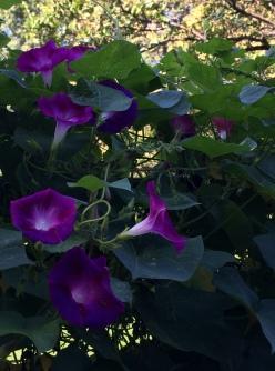 morning glory purple