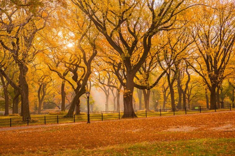 CP yellow elms