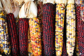 Indian corn 1
