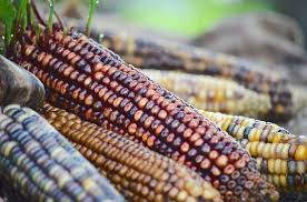 Indian corn 2