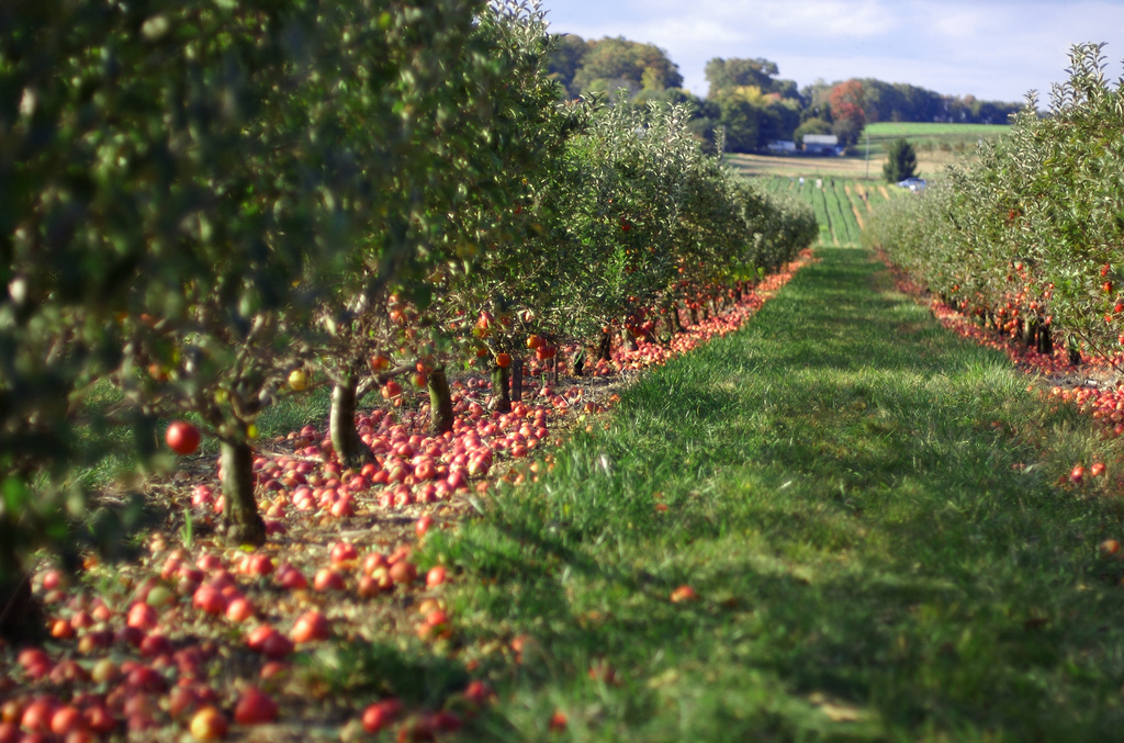 orchard apples on ground