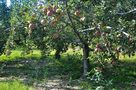 orchard tree laden