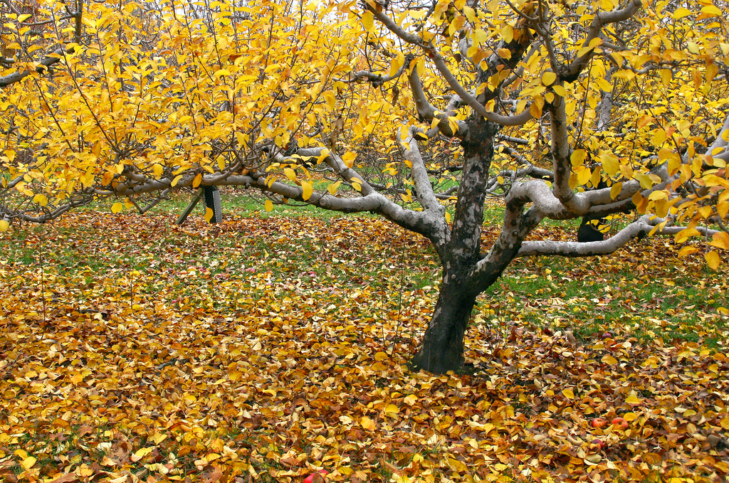 orchard yellow leaved tree