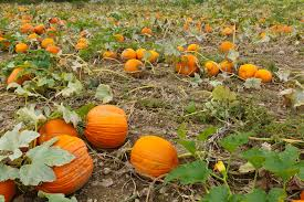 pumpkins field 2