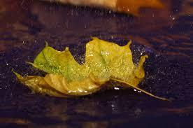 rainy yellow leaf