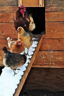 hens snow
