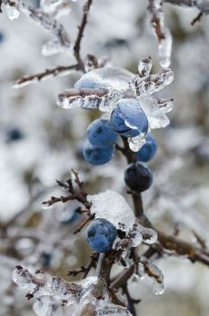 blue berries ice