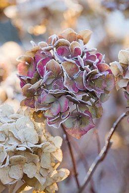 hydrangea frost