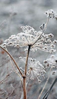 Queen Anne's lace frost