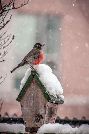 robin snow