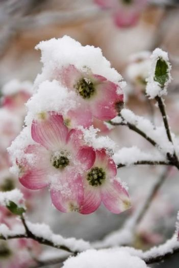 snow blossoms 2