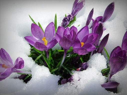 snow crocuses