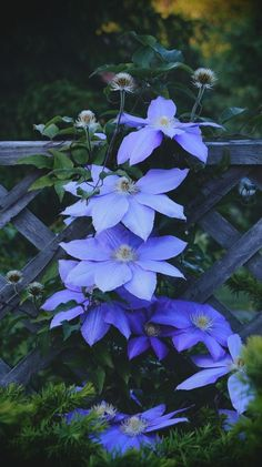 GH clematis