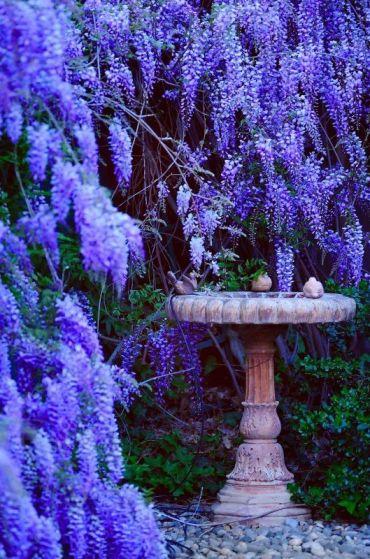 GH wisteria
