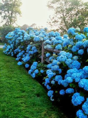 blue hedge