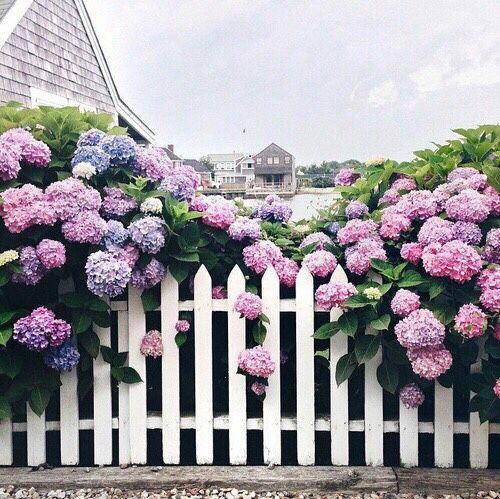 hydangeas fence