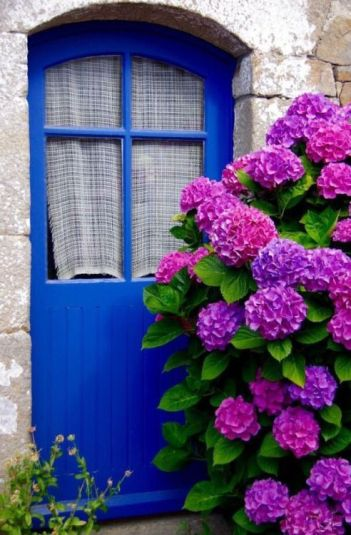 hydrangeas blue door