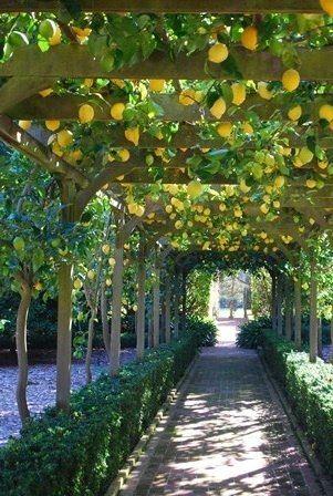 lemon arbor