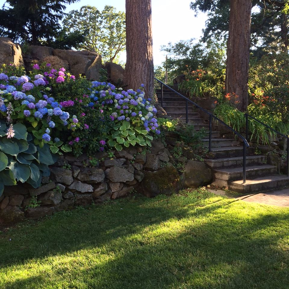 Oregon hydrangeas