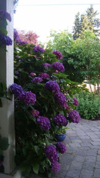 purple hyd