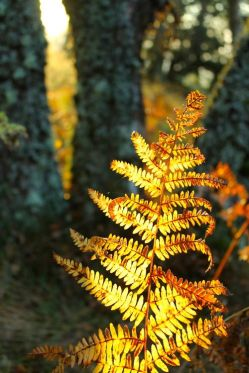 yellow fern