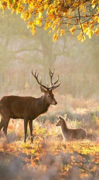 orchard deer