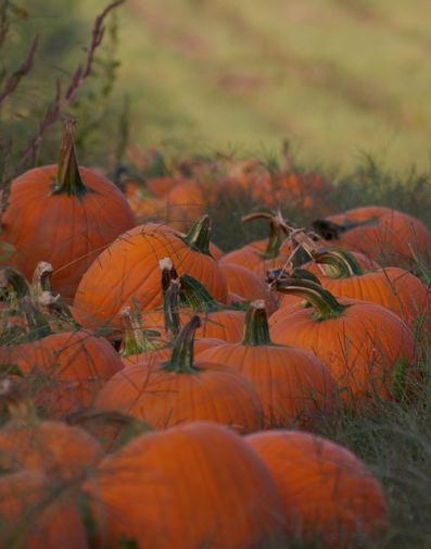 orchard pumpkins 2