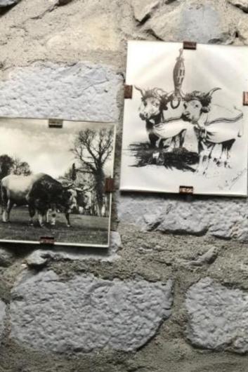 oxen large