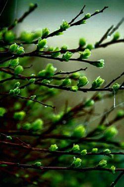 A green buds