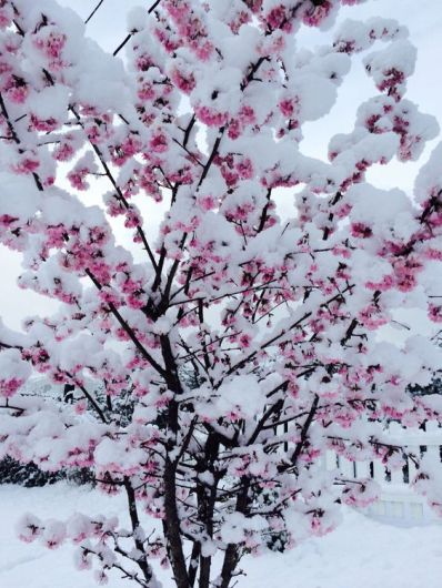 cherry trees in snow