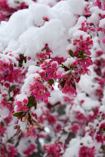 dark pink blossoms in snow