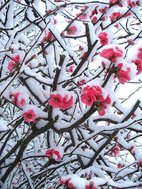 snowy quince