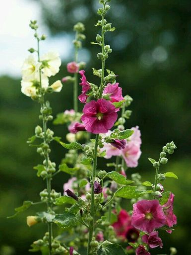 Hollyhocks 12