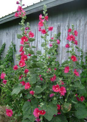 hollyhocks 5