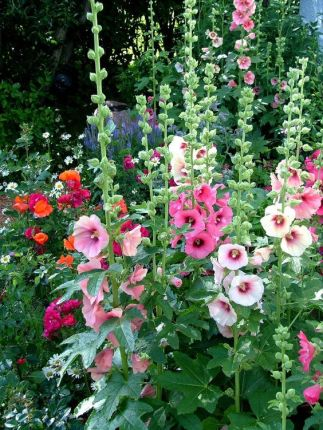 hollyhocks 9