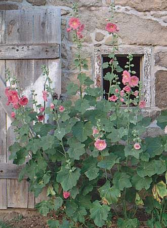 hollyhocks England