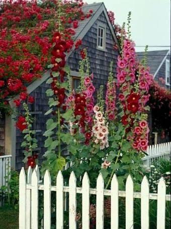 hollyhocks Nantucket