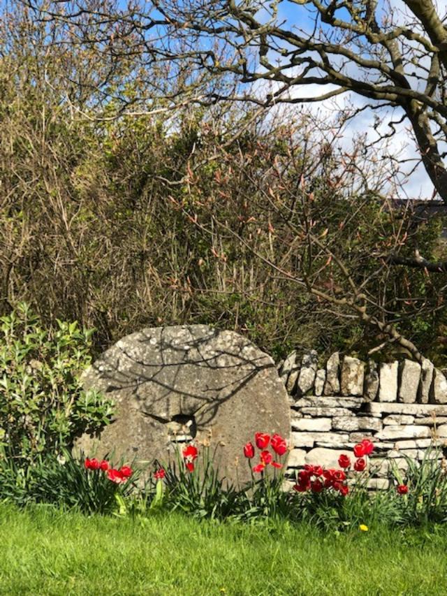 Orkeny tulips 1
