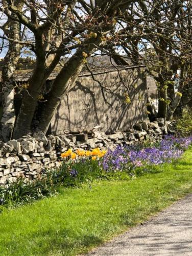 Orkney tulips yellow