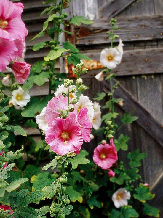 pink hollyhocks barn