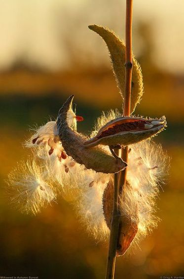 U milkweed