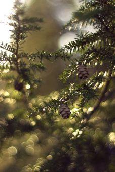 U pine